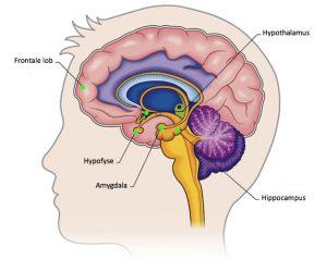 hersenstructuren betrokken bij stress