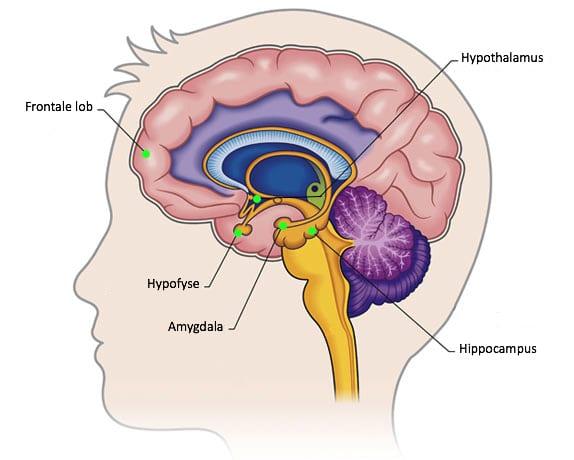 stress hersenen